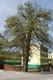 klon polny obok domu parafialnego, Szymala Aleksandra.jpeg